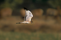 541450030 a wild female northern harrier circus cyaneus flies low over a grassy field hunting rodents in the eastern sierras of central california