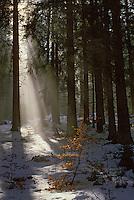 Europe/France/Auvergne/63/Puy-de-Dôme/Env de Besse-en-Chandesse: La forêt de Courbanges