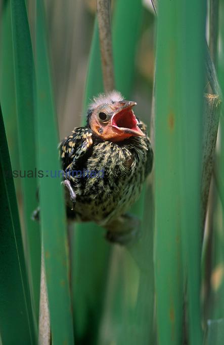 Fledging Red-winged Blackbird calling ,Agelaius phoeniceus, North America.