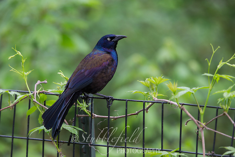 Common Grackle (Quiscalus quiscula stonei), Purple subspecies, male in bright spring plumage resting on a fence in New York City's Central Park.