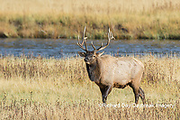 01980-03018 Elk (Cervus elaphaus) bull male, Yellowstone National Park, WY