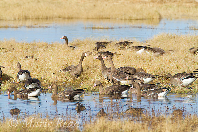Greater White-fronted Geese (Anser albifrons), flock in autumn, Sacramento National Wildlife Refuge, California, USA