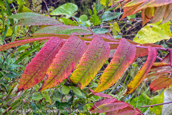 Staghorn Sumac leaves (Rhus typhina)  during the autumn months in New England USA