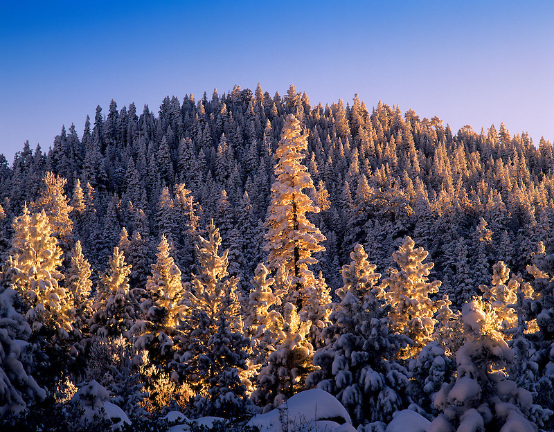 Snow and sunrise on ponderosa pine trees. Fremont National Forest, Oregon.