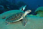 Hawksbill turtle (Eretmochelys imbricata)resting on a boulder coral.