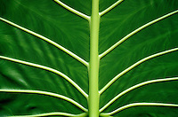 A view of the underside of common ape (pronounced ah-pay) leaf (Araceae)