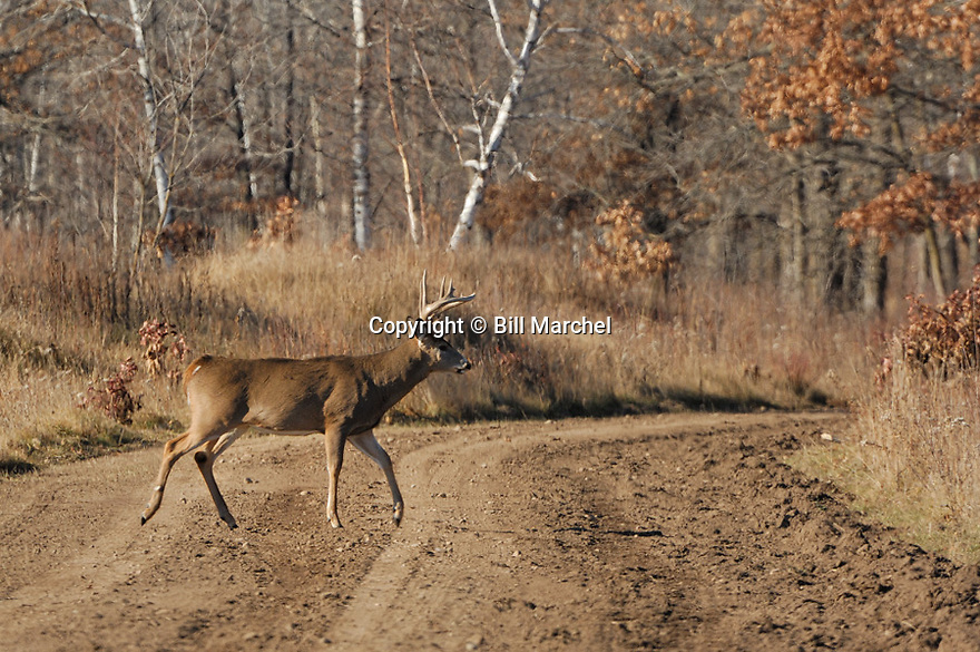 00274-322.01 White-tailed Deer Buck with large antlers and body in walking across gravel road during midday fall rut.  Hunt, breed.  H3R1