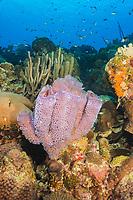 Azure Vase Sponge, Callyspongia plicifera, Bonaire, Netherland Antilles, Netherlands, Caribbean Sea, Atlantic Ocean