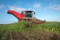 Harvesting sugar - Lincolnshire, October