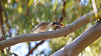 Noisy Friarbird w butterfly, 1770 camp, Queensland, Australia