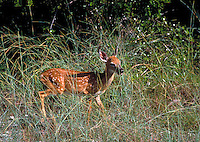 FAWN ALONE LOOKING FOR FOOD, ECOLOGY, ENVIRONMENT, ENDANGERED SPECIES,. NO NAME KEY FL.