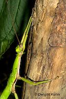 OR07-573z  Jamaica Stick-Insect, Aplopus jamaicensis, Jamaica