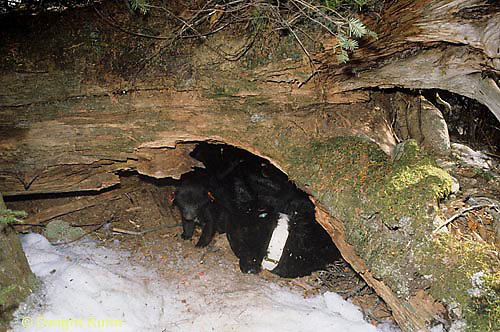 MA01-095z  Black Bear - female bear with cubs sleeping in winter den under tree trunk, notice cub awake and moving around  -  Ursus americanus