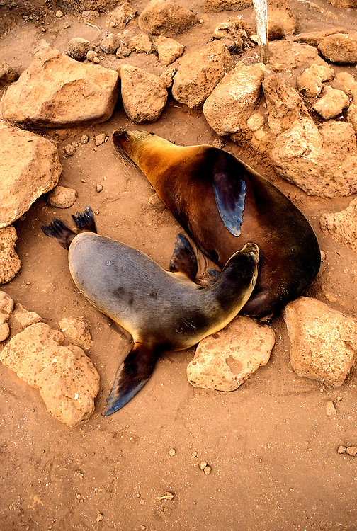 Ecuador: Galapagos..Sea lions..Photo Copyright Lee Foster, 510/549-2202, lee@fostertravel.com, www.fostertravel.com...Photo #: galapa103