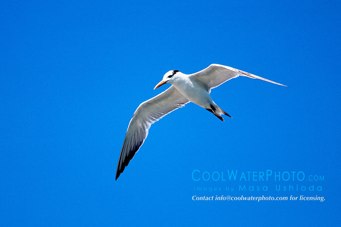 royal tern, Sterna maxima, in flight.John Pennekamp Coral Reef State Park.Key Largo, Florida.