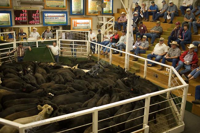 The Creighton Livestock Market cattle sale. Creighton, Nebraska, September 11, 2007.