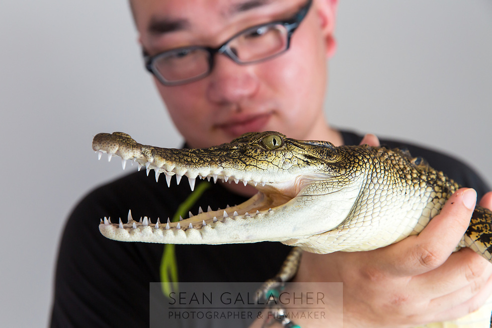 "Li Shiyang, holds a Saltwater Crocodile (Crocodylus porosus) in his home on the outskirts of Beijing. This juvenile is only two and half years old, but when fully grown can reach up to six metres, making it the largest reptile in the world. It's just one of five crocodilians he owns, along with two other large snakes. ""There are twenty three crocodilian species in the world. We hope to collect all of them"", he boasts. A Saltwater Crocodile can retail for up to 9000RMB (US$1500). In the wild, they can be found mainly in South East Asia and Northern Australia."