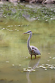 A grat blue Heron on edge of shallow lake