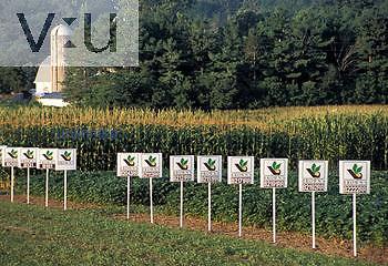 Breeding lines of corn in field trial plot.