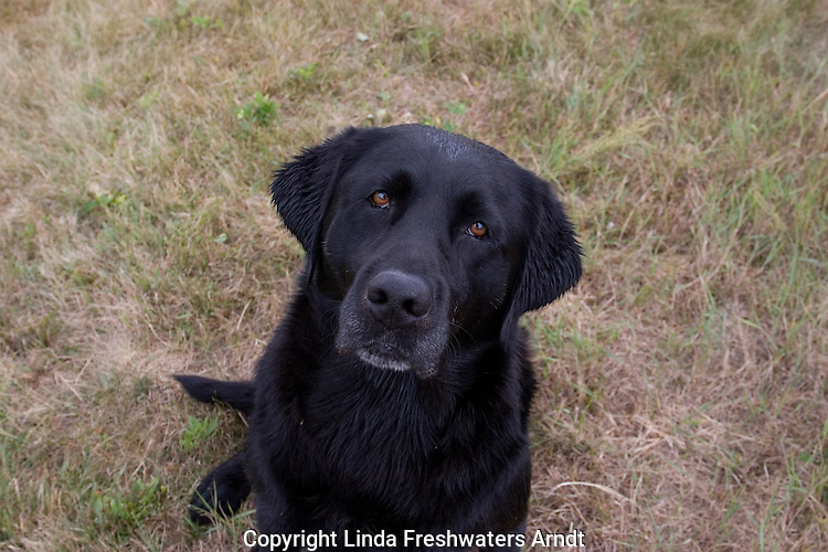 Black Labrador retriever (AKC) looking up at the camera.  Summer. Winter, WI.
