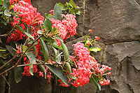Graceful beautiful pink Ixora branches against stoned wall in the background