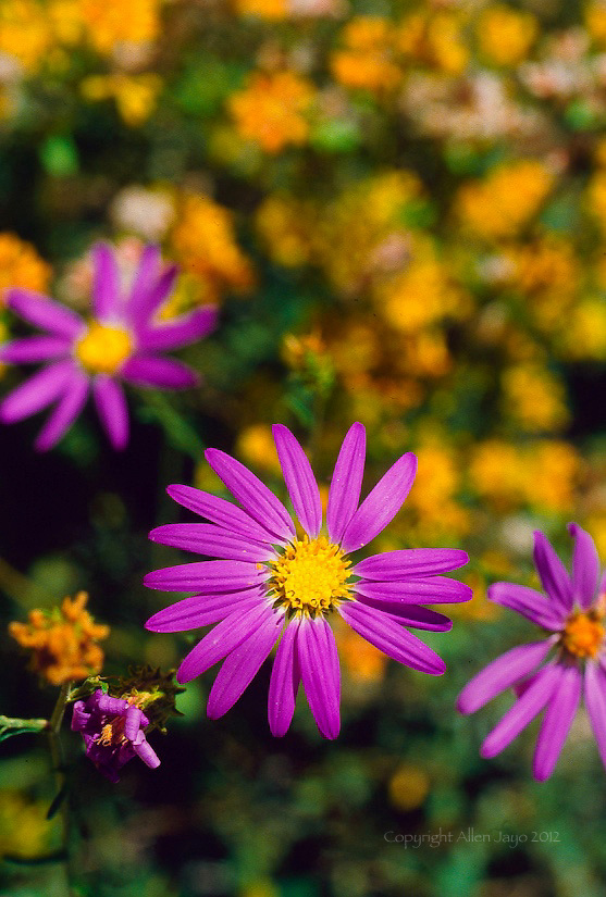 TAHOKA DAISY BLOOM