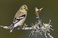 American Goldfinch - Carduelis tristis - Adult male non-breeding