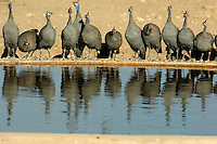 "Helmeted guinea fowl, lining up to drink, are reflected in the water of the waterhole. They are a common sight in Namibia, scurrying across the ground and often uttering their ""kek-kek-kek-kek"" alarm note."