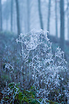 Spiders webs in a forest covered in hoar frost on a winter morning. Lake District, Cumbria, UK