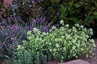 Kent Beauty Oregano (Origanum rotundifolium) with Prickly Diathus in New Mexico backyard garden, design by Judith Phillips