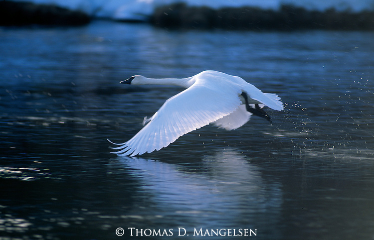 Trumpeter swan taking off from waters in Wyoming.