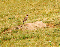 Burrowing owl at burrow in prairie dog town