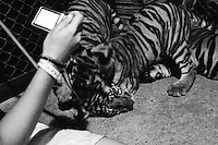 Playing with Tigers