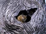 Tree Hyrax, Ngorongoro Conservation Area, Tanzania