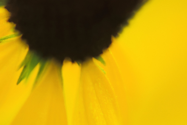 """""""Susan's Eye"""" is an abstract close-up of a Black-Eyed Susan blossom, Morton Arboretum, DuPage County, Illinois"""