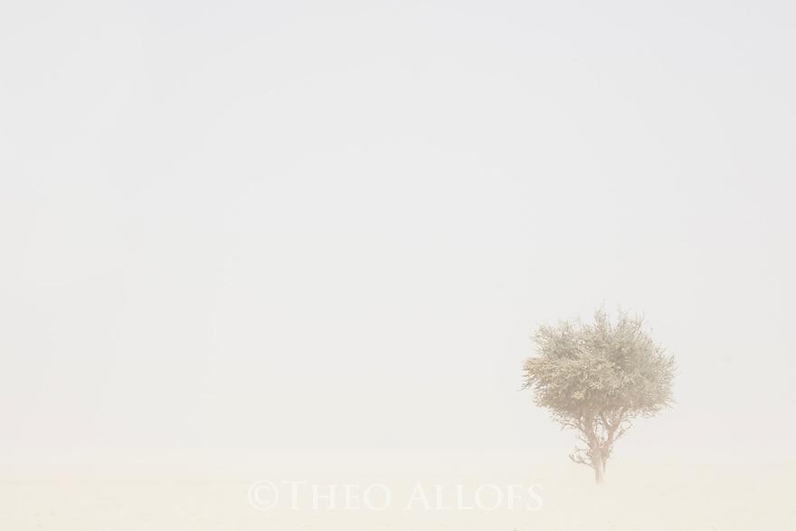 Chad (Tchad), North Africa, Sahara, Borkou District, acacia tree in sandstorm