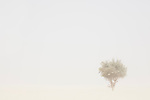 Chad (Tchad), North Africa, Sahara, Borkou District, acacia tree in sandstorm