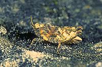 Zweipunkt-Dornschrecke, Zweifleck-Dornschrecke, Weibchen, Tetrix bipunctata, Two spotted groundhopper, female, Dornschrecken, Tetrigidae, grouse locusts, pygmy locusts, groundhoppers, pygmy grasshoppers