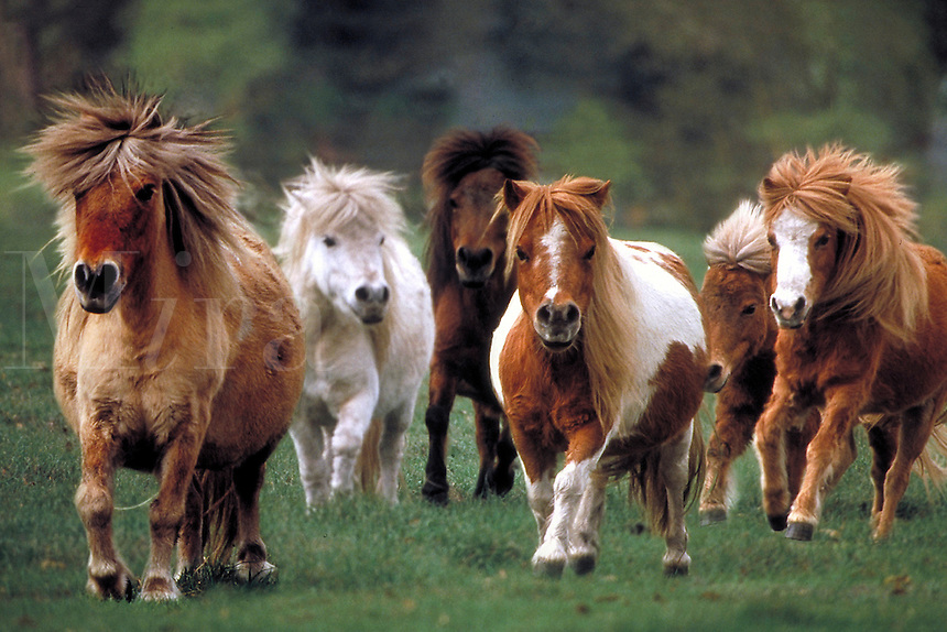 Group of Miniature Horses runs to camera. Mares, Shetland or Icelandic ponies, horse, horses, animals,.