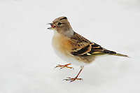 Brambling (Fringilla montifringilla), female eating seeds on snow, Zug, Switzerland, December 2007