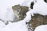 Snow Leopard watching from a snowy cliff - CA