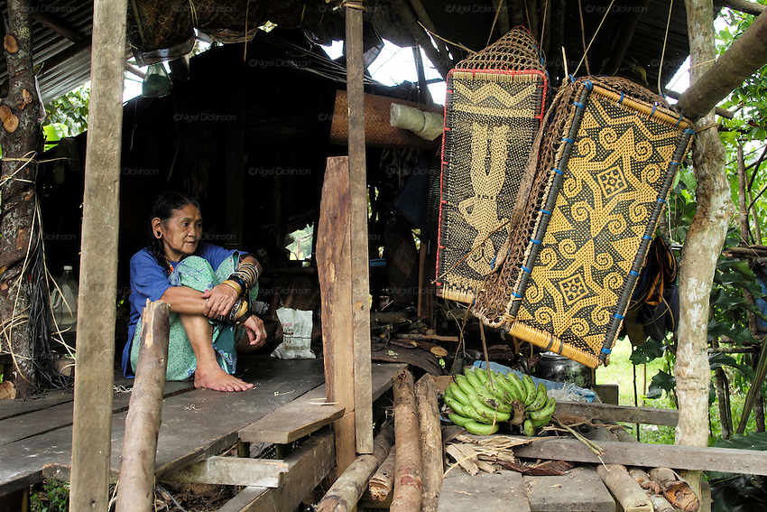 The family of Along Sega, a hard fighting resistance fighter who died a decade before. The Penan native people are learning to live a sedentary lifestyle which includes living in wooden houses, farming and fishing. They were traditionally nomadic hunter-gatherers. These days they have become forcibly settled as their hunting grounds have been largely destroyed by logging concessions and palm-oil plantations. Limbang Sarawak Malaysia 2015<br /> <br /> There are only a few, difficult to find, scarce communities of semi-nomadic Penan nowadays, who live like of those of old, hidden away deep in the tropical forest, hunter-gathering, wearing loin cloth 'chawats', hunting wild boar with blowpipes and poison arrows, and extracting sago-root flour, their staple carbohydrate, by hand.<br /> <br /> Borneo native peoples and their rainforest habitat revisited two decades later: 1989/1991 and 2012/2014/2015. <br /> <br /> Sarawak's primary rainforests have been systematically logged over decades, threatening the sustainable lifestyle of its indigenous peoples who relied on nomadic hunter-gathering and rotational slash & burn cultivation of small areas of forest to survive. Now only a few areas of pristine rainforest remain; for the Dayaks and Penan this spells disaster, a rapidly disappearing way of life, forced re-settlement, many becoming wage-slaves. Large and medium size tree trunks have been sawn down and dragged out by bulldozers, leaving destruction in their midst, and for the most part a primary rainforest ecosystem beyond repair. Nowadays palm oil plantations and hydro-electric dam projects cover hundreds of thousands of hectares of what was the world's oldest rainforest ecosystem which had some of the highest rates of flora and fauna endemism, species found there and nowhere else on Earth, and this deforestation has done irreparable ecological damage to that region