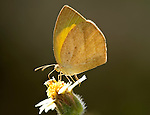 Yellow Orange Tip Butterfly, Ixias pyrene, feeding on flower, Bandhavgarh National Park, backlight, underside of wings.India....