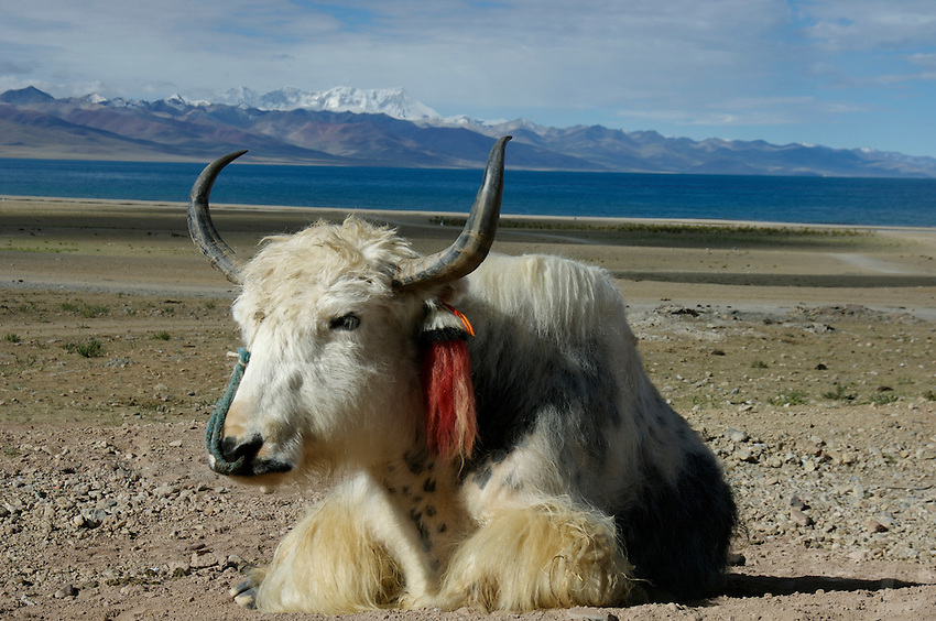 "A yak resting at Namtso Lake.Namtso Lake :Namtso, another holy lake in Tibet, is located near Damxung. 4718 meters (15475 feet) above sea level and covering 1900 square kilometers (735 square miles), the lake is the highest saltwater lake in the world and the second largest saltwater lake in China. The snow capped Mt. Nyainqentanglha, considered as the son of Namtso and leader of sacred mountains, soars up to sky beside her. Singing streams converge into the clean sapphire blue lake, which looks like a huge mirror framed and dotted with flowers..The Namtso Lake is held as ""the heavenly lake"" or ""the holy lake"" in northern Tibet. .Respected as one of the three holiest lakes in Tibet, the Namtso Lake is the seat of Paramasukha Chakrasamvara for Buddhist pilgrims. In the fifth and sixth month of the Tibetan calendar each year, many Buddhists come to the lake pay homage and pray. Deep tracks are worn into the lakeshore due to this activity. In history, monasteries stood like trees in a forest around the site, attracting large numbers of pilgrims as eminent monks in Buddhist temples extended Buddhist teachings...Buddhists believe Buddhas, Bodhisattvas and Vajras will assemble to hold religious meeting at Namtso in the year of sheep on Tibetan calendar. It is said that walking around the lake at the right moment is 100,000 times more efficacious than that in normal years. That's why thousands of pilgrims from every corner of the world come to pray at the site, with the activity reaching a climax on Tibetan April 15...Walking around the lake takes a week. Ritual walkers love to burn aromatic plants to raise smoke on Auspicious Island [explain this a little] and throw a piece of hada scarf into the lake as a token of fulfilled wishes. If the scarf sinks, it implies ones wish is accepted by the Buddha; if the scarf flows on the water or only half sinks, it means one has failed to be honest and something unhappy may lie ahead...On the four sides of the lake stand four monaste"