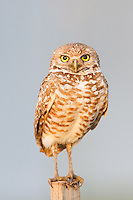 Burrowing owl (Athene cunicularia) standing on a T-perch