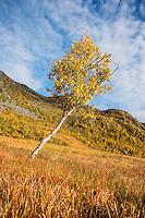 Birch tree in colorful autumn landscape, Vestvågøya, Lofoten Islands, Norway