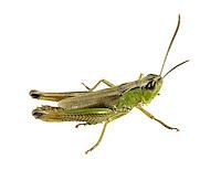 Meadow Grasshopper male - Chothippus parallelus