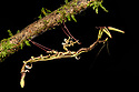 Dragon or spiky flower-mimic mantis (Toxodera berieri). Active at night. Danum Valley, Sabah, Borneo.