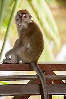 Crab-eating Macaque, Macaca fascicularis, monkey on fence, Sepilok Orangutan Rehabilitation Centre, Sandakan, Sabah, Northeastern Borneo, Malaysia