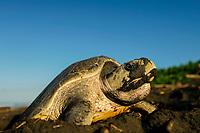 The olive ridley sea turtles (Lepidochelys olivacea) are famous for their behaviour to nest also during the day. Their arribada (mass nesting event with several days of duration) only pauses during hot midday temperatures.   Zum Zeitpunkt der Eiablage haben viele Oliv-Bastardschildkröten (Lepidochelys olivacea) ein mit Sand bedecktes Gesicht. Grund hierfür ist das auffällige, für diese Art typische Verhalten, beim Hinaufkriechen auf den Strand den Sand mit dem Schnabel zu durchpflügen. Es scheint, dass so die Beschaffenheit des Untergrundes dahingehend überprüft wird, ob er für den Nestbau geeignet ist oder nicht.